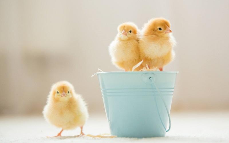 Velikonoce a kuřátka
